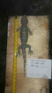 tokek-bintik-merah-gecko